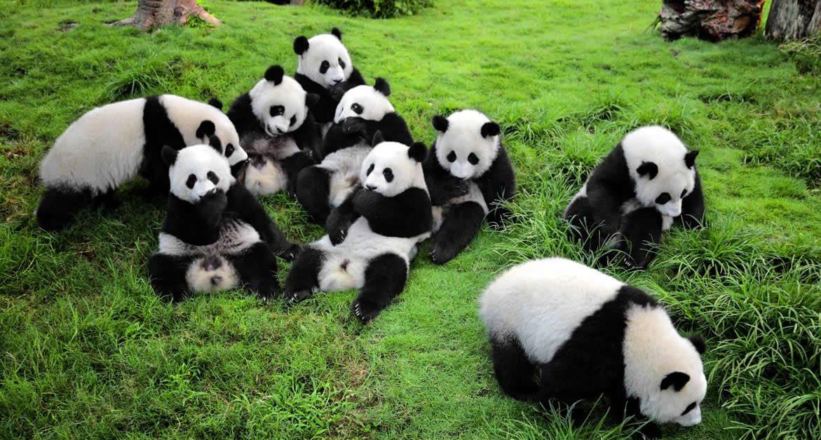 Panda, especie de oso valorada y protegida en china