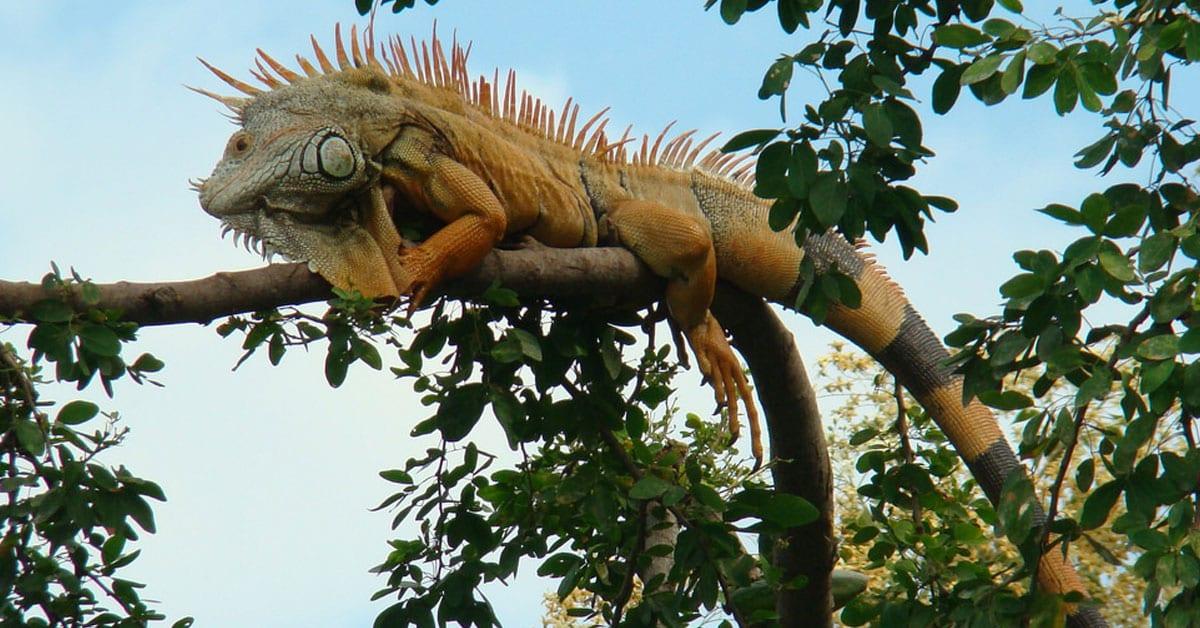 Iguanario Manzanillo